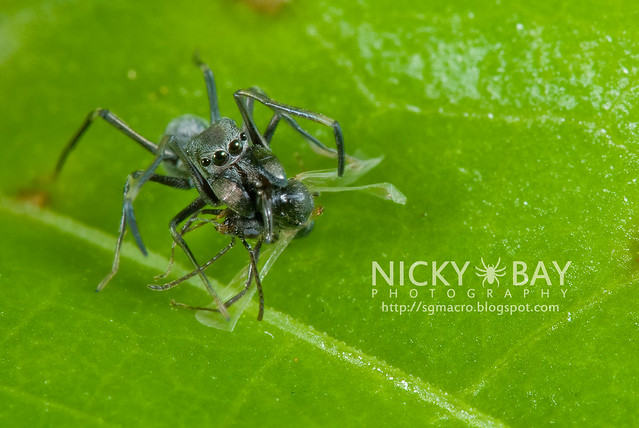 Ant-Mimic Jumping Spider (Salticidae) - DSC_7479