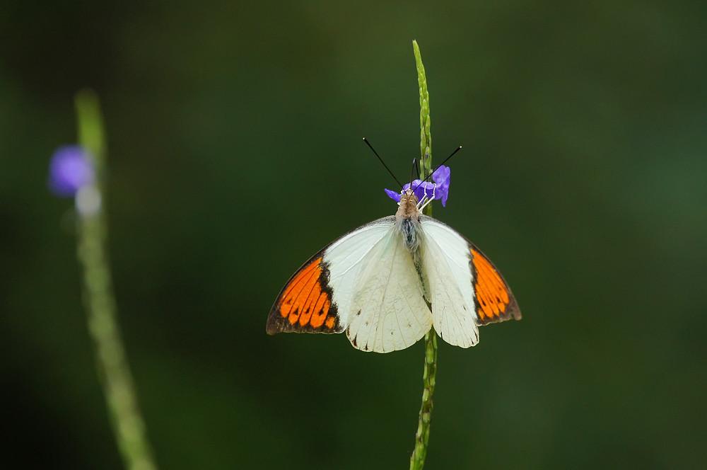 橙端粉蝶-01