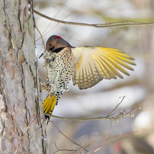 ohio clarksville northernflicker colaptesauratus cowanlake