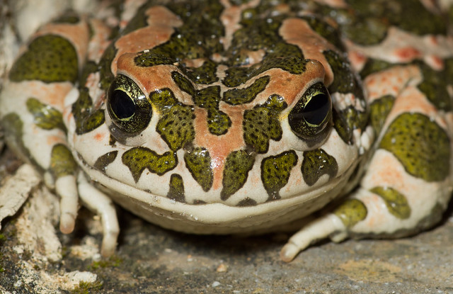 green toad close up 2