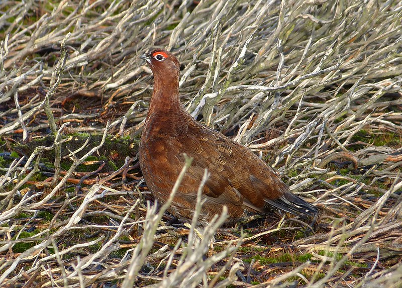 29127 - Red Grouse, Burley Moor