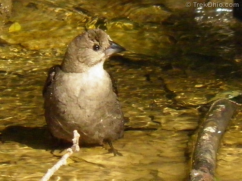 Bathing cowbird (female)