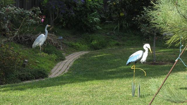 IMG_4977 great egret backyard heron