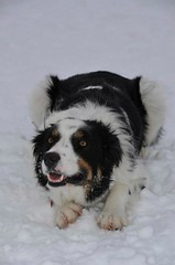 dog breed, animal, dog, landseer, mammal, bernese mountain dog,