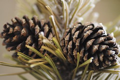 conifer, flower, pine, leaf, macro photography, flora, produce, close-up, conifer cone, fir, spruce,