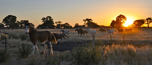 Mares Running at Sunset