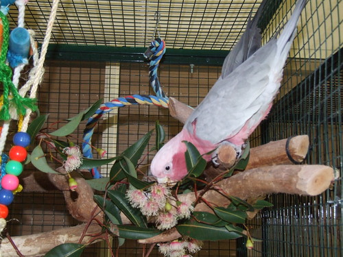 Galah eating Eucalyptus flowers