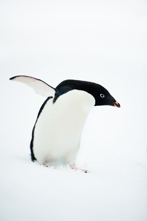 RYALE_Antarctica_Penguins-30