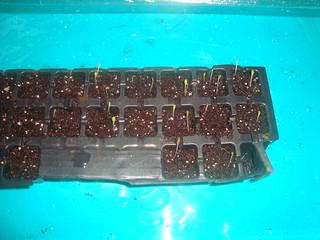 Lettuce Seedling
