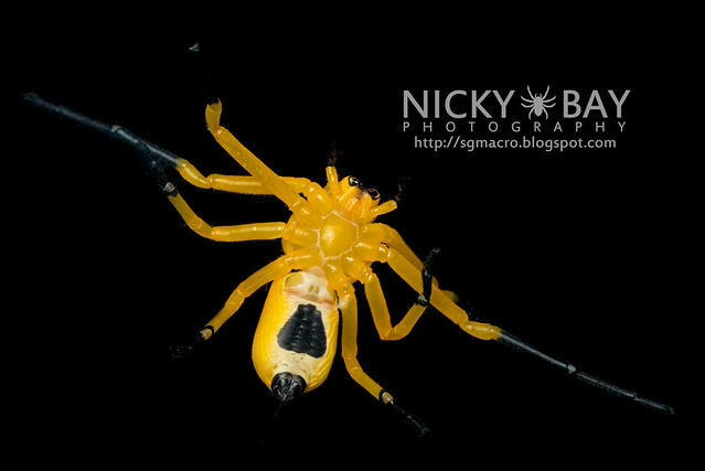Eight-Spotted Crab Spider (Platythomisus octomaculatus) - DSC_5879
