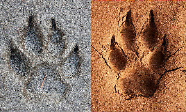 dog vs  coyote track comparison