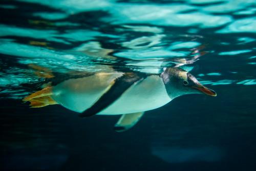 Gentoo Penguin by 'Vespertine'