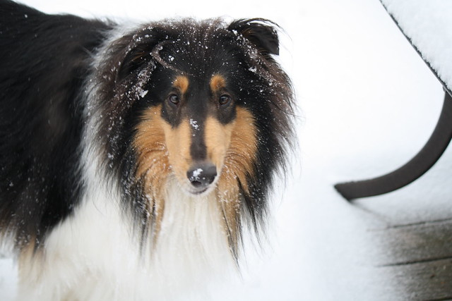 collie face full of snow