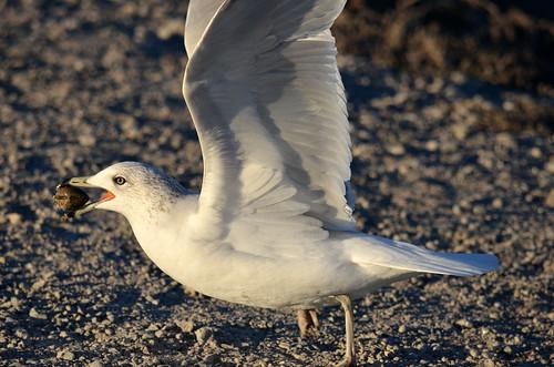 Ring-billed Gull at Bolsa Chica wetlands, CA