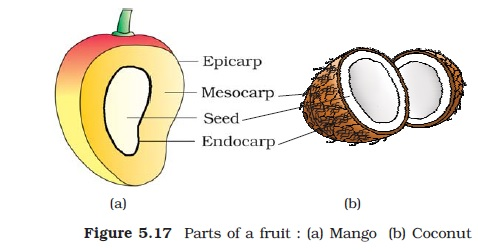 Ncert class xi biology chapter 5 morphology of flowering plants in mango and coconut the fruit is known as a drupe figure 517 they develop from monocarpellary superior ovaries and are one seeded ccuart Gallery