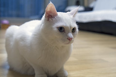 animal, kitten, khao manee, small to medium-sized cats, pet, burmilla, turkish angora, javanese, ragdoll, thai, tonkinese, cat, burmese, carnivoran, whiskers, birman, domestic short-haired cat,