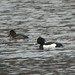 2013-02-03 Tufted Duck