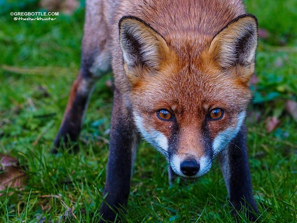 Close up of Foxy