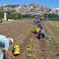 E anche questa è fatta! #patate #navelli #laquila #abruzzo #italy #nature #foodie #food #visitabruzzo #tasteabruzzo #slowfood #agricoltura #borghitalia #yourabruzzo #borghipiubelli