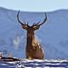 Bull Elk, Canadian Rockies