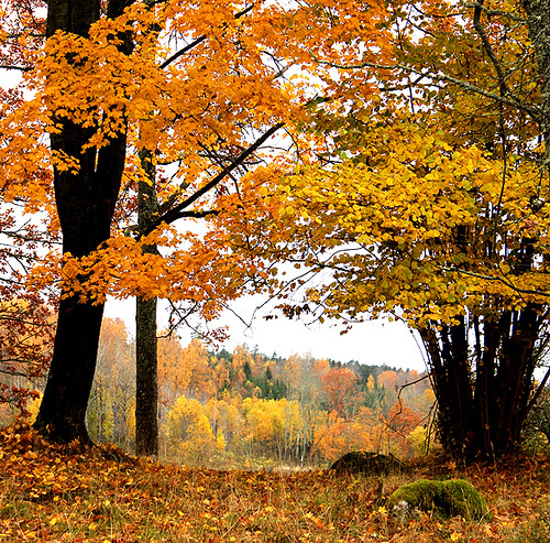 wood autumn trees orange tree fall nature beautiful leaves yellow forest canon woodland landscape eos leaf oak woods scenery sweden scenic 1855mm 1855 oakwood oaks midday oaktree 550d timlindstedt