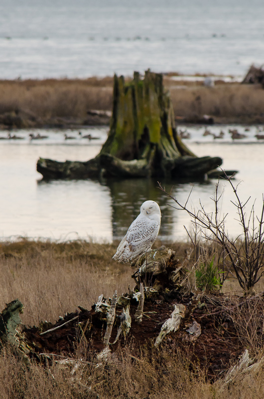 More Snowy Owls in Boundary Bay