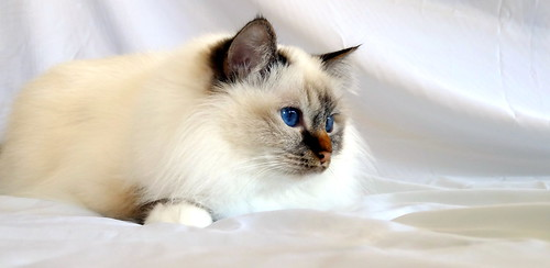 CaTaLi's Kazumi, chocolate tabby point Birman, female, 3 years & 1 month