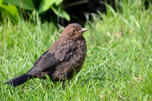 Blackbird Fledgling by 4harmony2