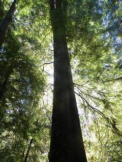 JSSP_redwood
