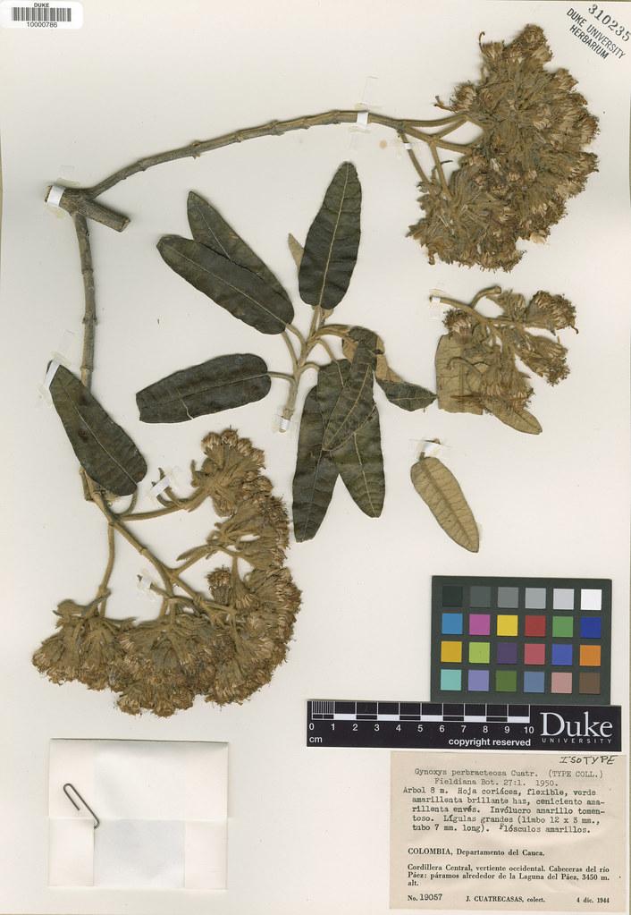 Asteraceae_Gynoxys perbracteosa