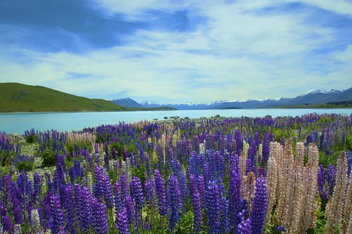 Lake Tekapo Lupins by James Woodward