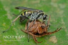 Spider-Wasp (Pompilidae) - DSC_3086