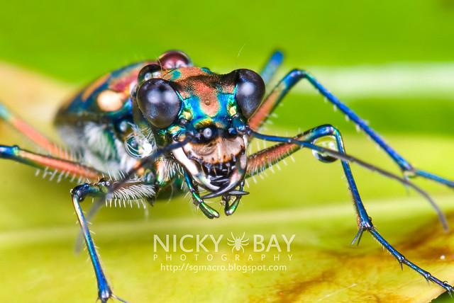 Tiger Beetle (Cicindelinae) - DSC_9259