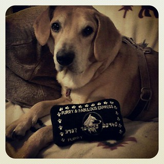 Received a few items I won from a #BlogPaws pawty today... Sophie claimed the squeaky credit card. #dogstagram #dogs #dogtoys