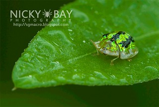 Tortoise Beetle (Cassida sp.) - DSC_6385