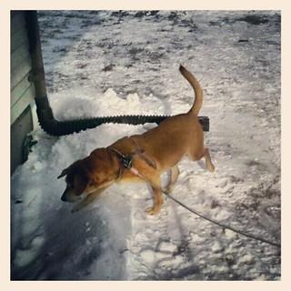 My snowbunny #hound Sophie  #dogstagram #happydog #snow #newhampshire
