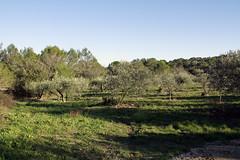 Une olivette au Nord de Nîmes