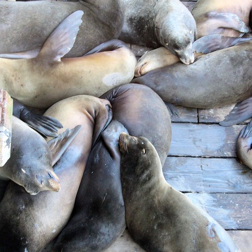 Raft of Sea Lions being lazy