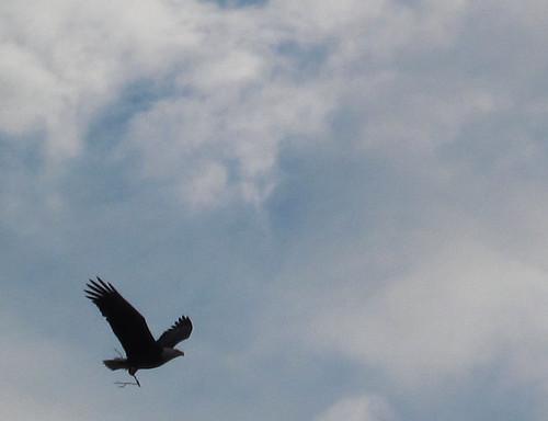 eagle_crop_IMG_1556