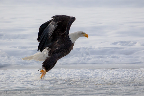 Bald Eagle takeoff at Chilkat Preserve 5525