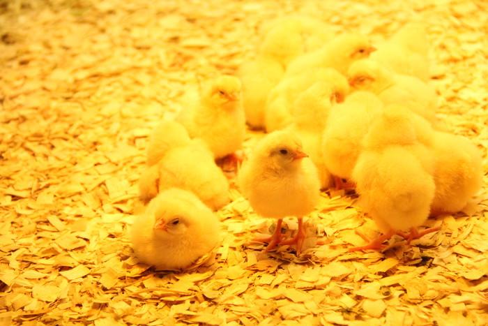baby_chicks