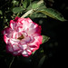 Rose by Sharon Mollerus