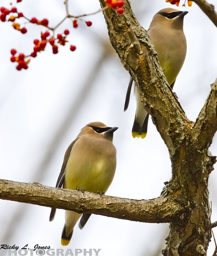 A Pair of Cedar Waxwing in Grant Park by Ricky L. Jones Photography