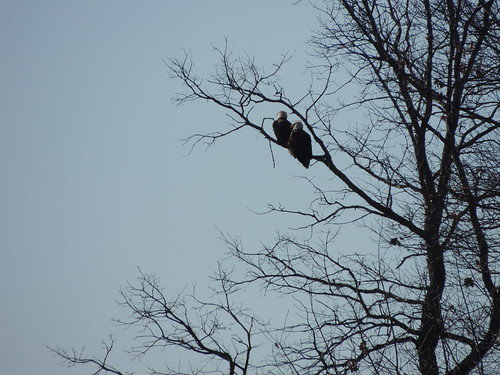 Bald Eagles over Big Pond