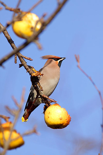 Waxwing feeding on apples by Paul Miguel