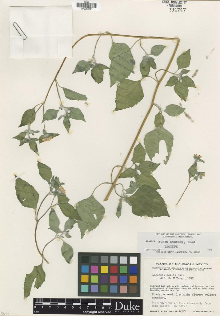 Asteraceae_Lagascea aurea