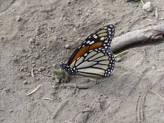 Monarchs 019