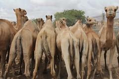 Camel Market (9)