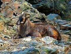 chamois(0.0), animal(1.0), mammal(1.0), barbary sheep(1.0), goats(1.0), domestic goat(1.0), fauna(1.0), wildlife(1.0),