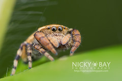 Jumping Spider (Salticidae) - DSC_3683